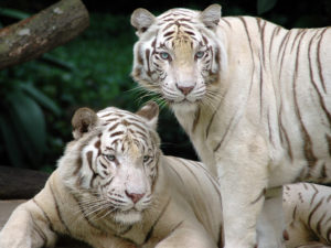 white-tiger-animals