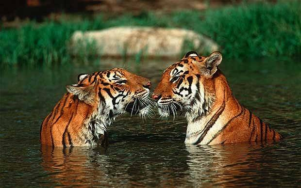 tigers-in-water
